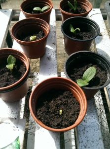 First signs of life with the Courgette seeds!