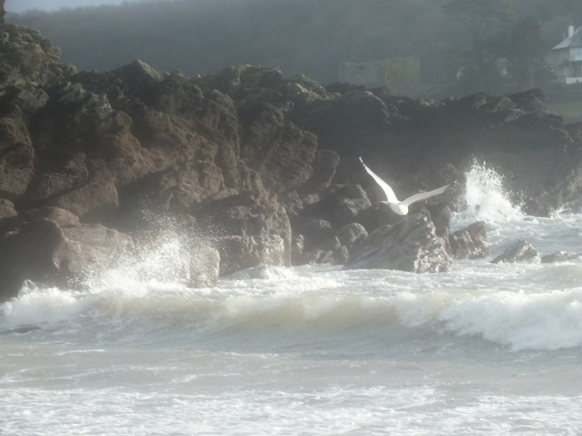 sea gull, rough water, fowey