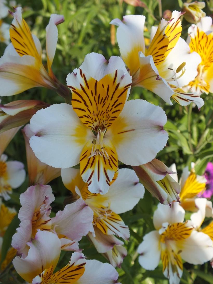 flowers, summer garden
