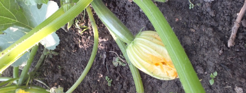 courgettes, vegetable patch