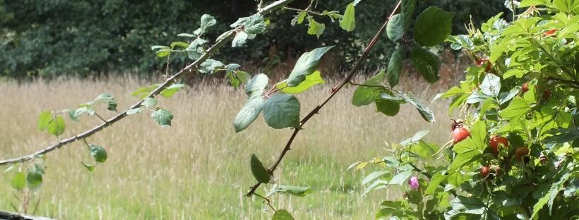 summer, overgrown, bramble, gate