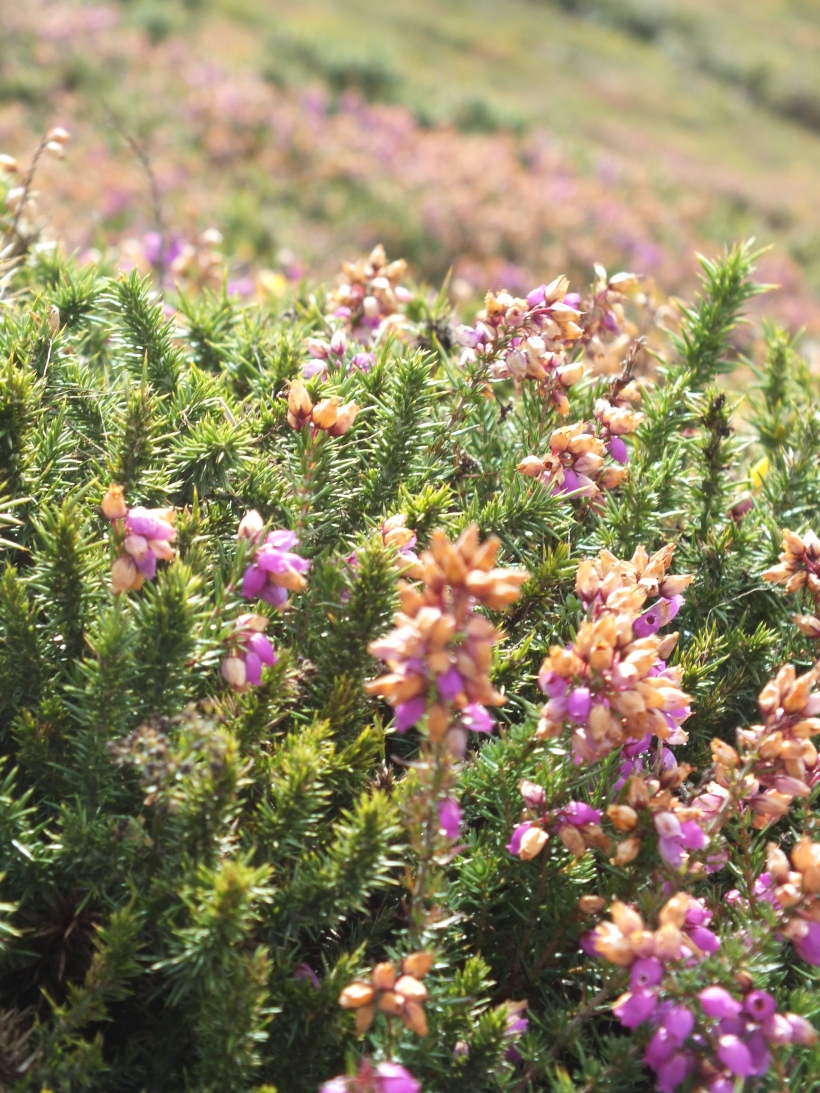 heather, St Agnes cornwall,